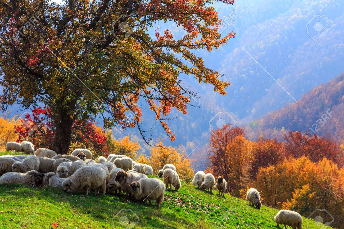 Tree Sheep Shepard Dog In Autumn Landscape The Romanian Carpathians Stock Photo
