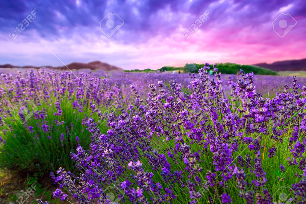 Sunset over a summer lavender field in Tihany, Hungary - 36935746