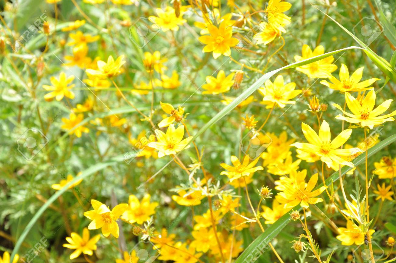 Yellow wild flowers of east africa known only from ethiopia stock stock photo yellow wild flowers of east africa known only from ethiopia mightylinksfo