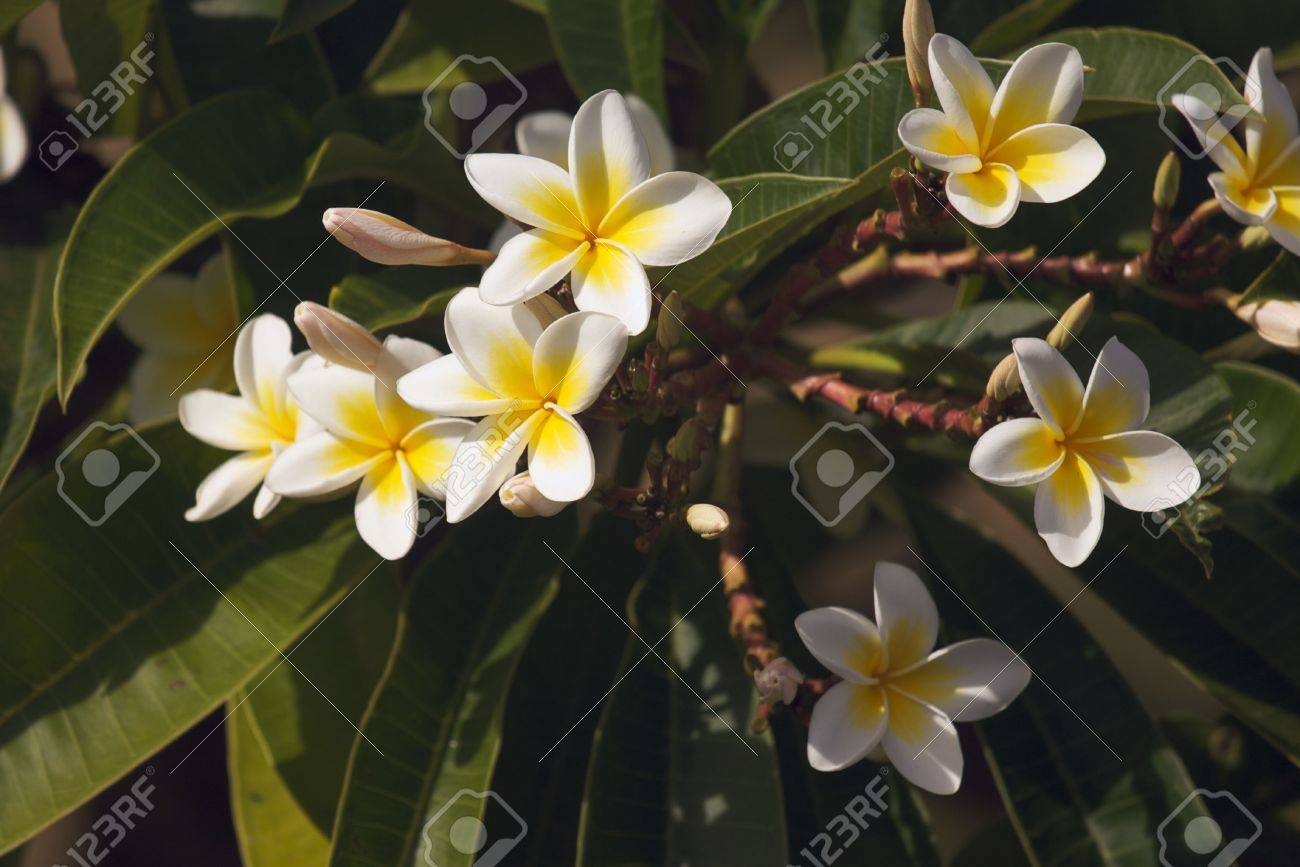 Yellow plumeria flowers on the tree in kauai hawaii stock photo stock photo yellow plumeria flowers on the tree in kauai hawaii izmirmasajfo
