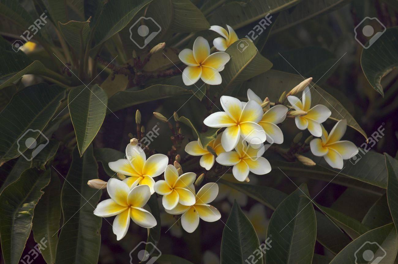 Yellow Plumeria Flowers On The Tree In Kauai Hawaii Stock Photo
