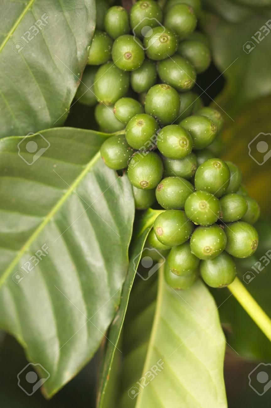Coffee Beans on the Branch in Kauai, Hawaii Stock Photo - 3714289