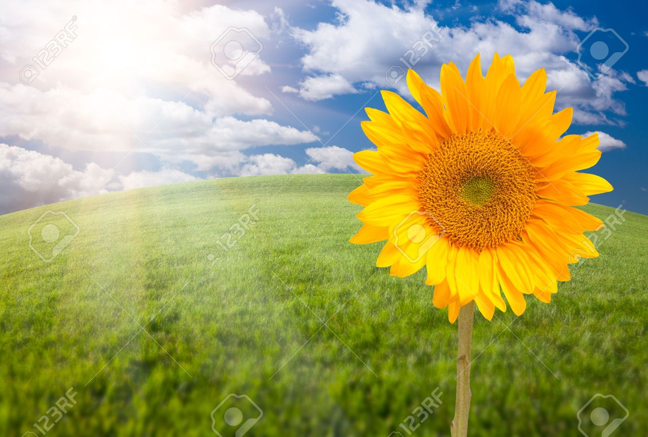 single sunflower over arched horizon of grass field and sky with, Beautiful flower
