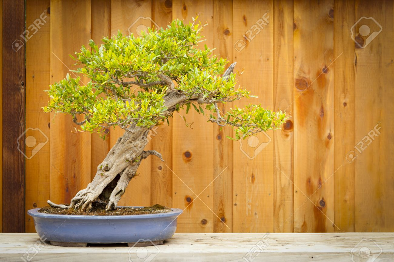 Beautiful Pomegranate Bonsai Tree Against Wood Fence Stock Photo Picture And Royalty Free Image Image 13471943