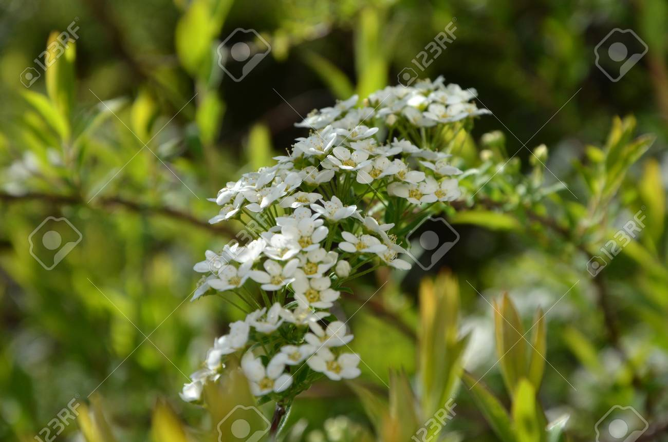 Blooming Spirea By White Small Flowers Stock Photo Picture And