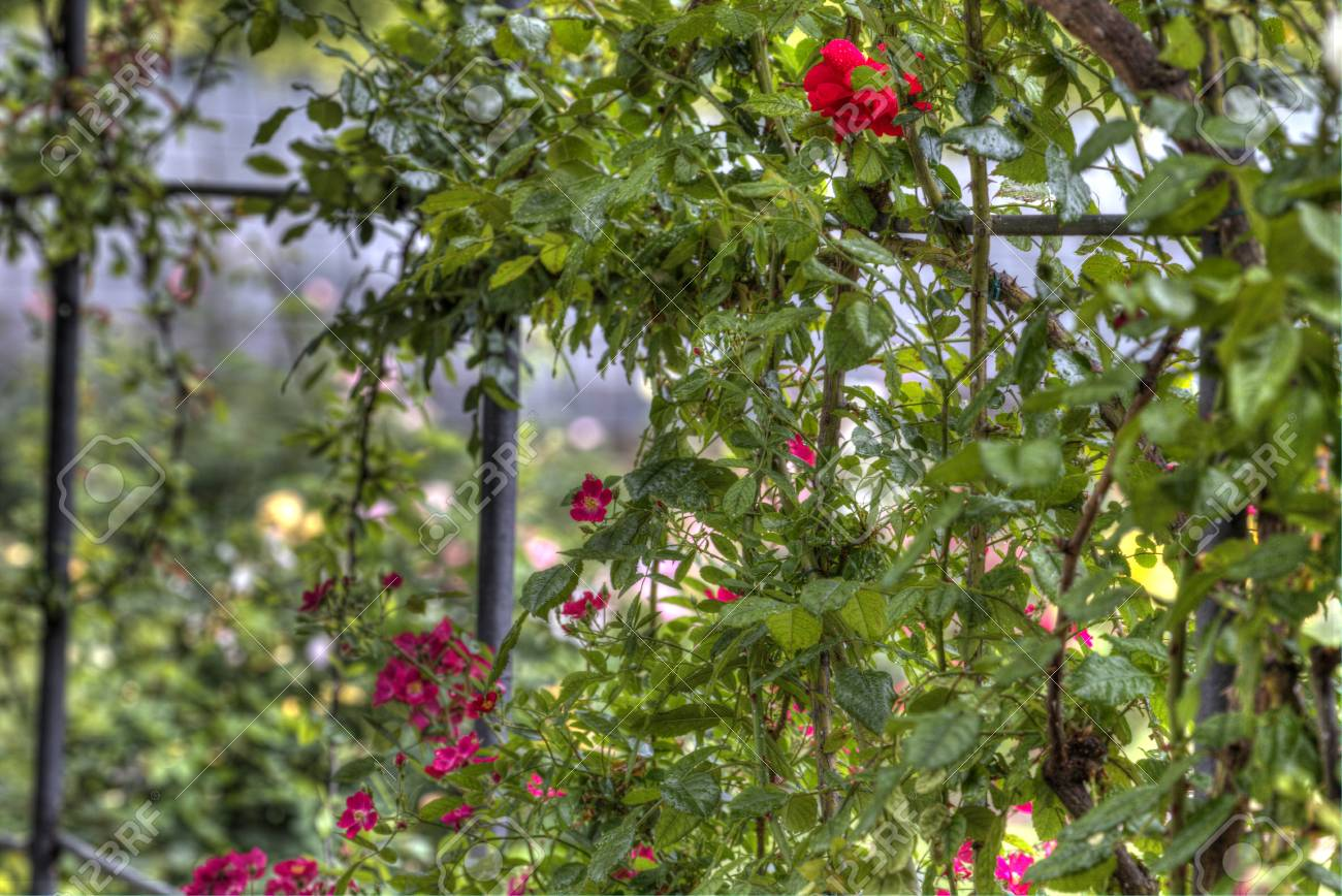 Red Climbing Roses On A Garden Trellis Or Arbor Just Coming Into