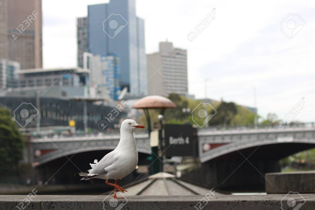 playful singel seagull posing by the river in the CBD inner city Melbourne with city buildings and Flinder's street station in the background, watching busy city life - 131533534