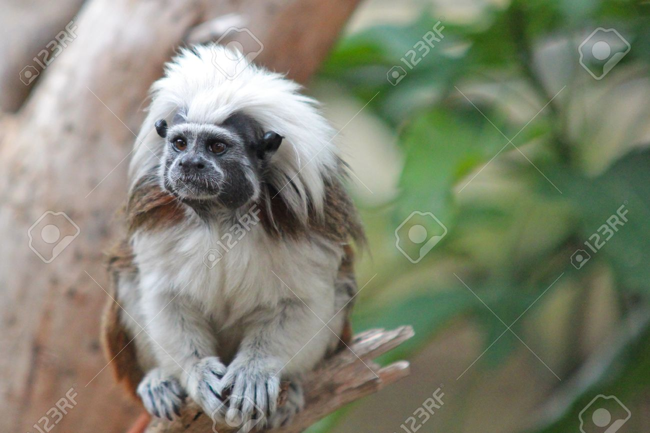 Cute Cotton Top Tamarin Monkey In A Tree Stock Photo, Picture And Royalty Free Image. Image 31883089.