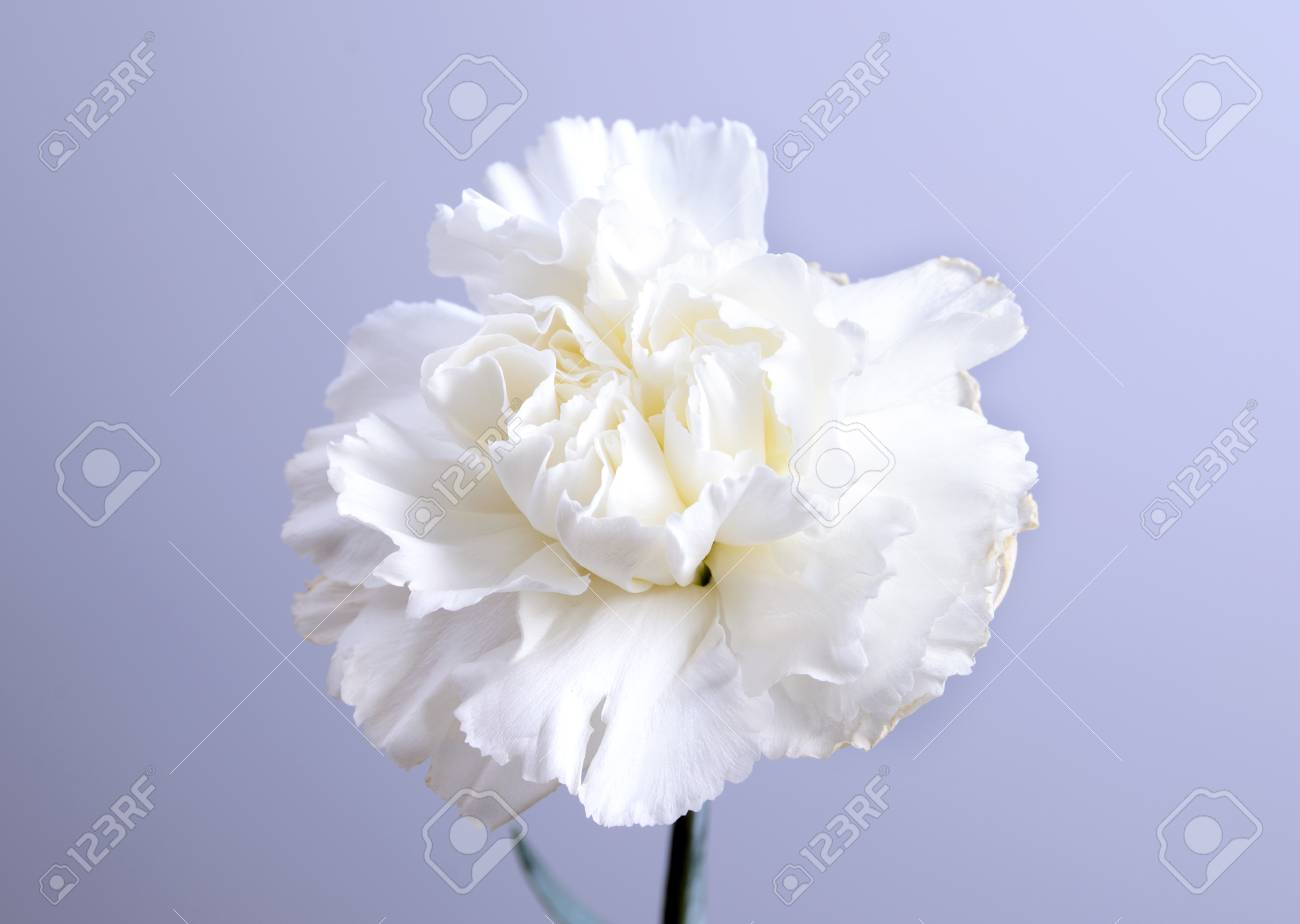White carnation flower on grey background and space for text stock stock photo white carnation flower on grey background and space for text mightylinksfo