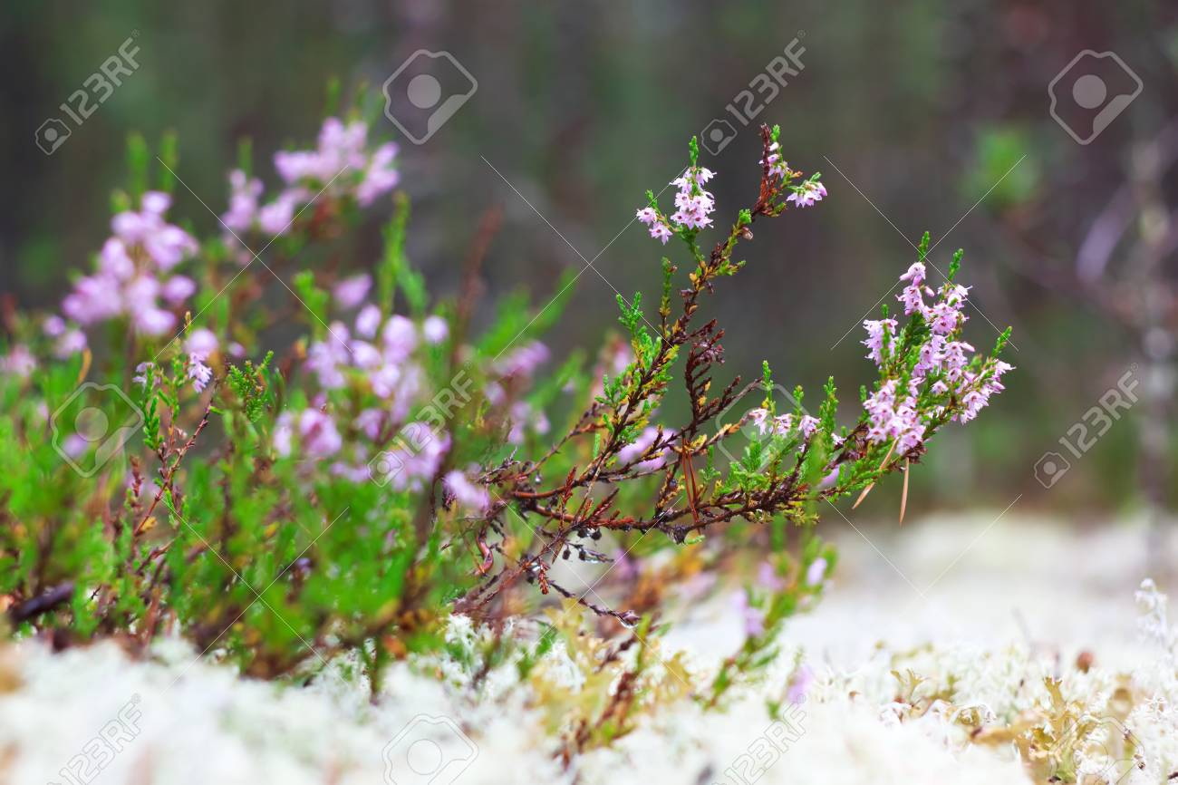 Wild Blooming Heather On White Moss Background In The Forest