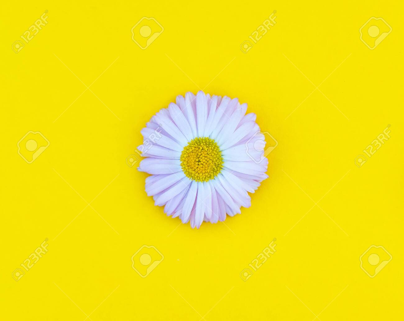 Spring And Summer Flower Isolated Flat Lay Daisy In Bloom On