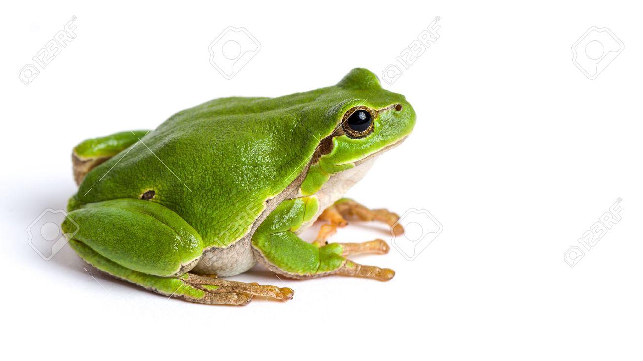 European green tree frog (Hyla arborea formerly Rana arborea) isolated on white - 52910797