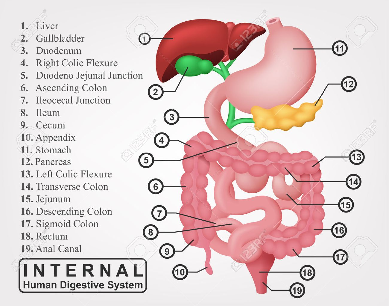 The Part Of Internal Human Digestive System Illustration Royalty