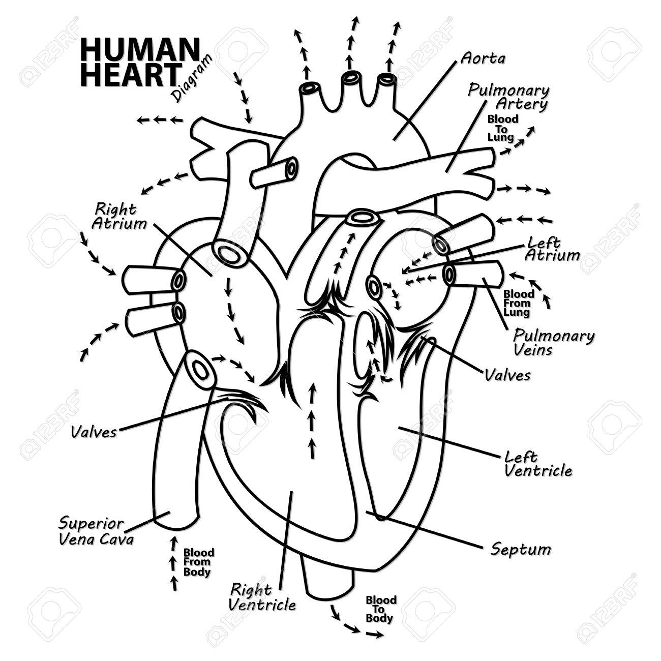 Human Heart Diagram Anatomy Tattoo Royalty Free Cliparts, Vectors ...