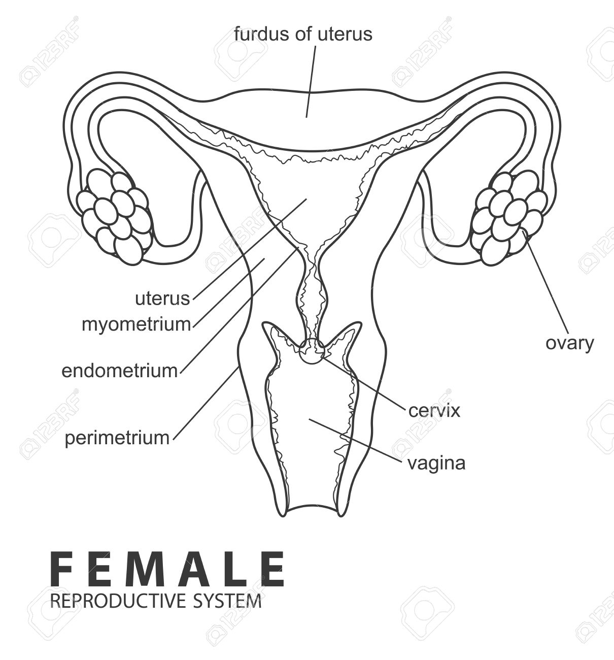 2604 Female Reproductive System Cliparts Stock Vector And Royalty