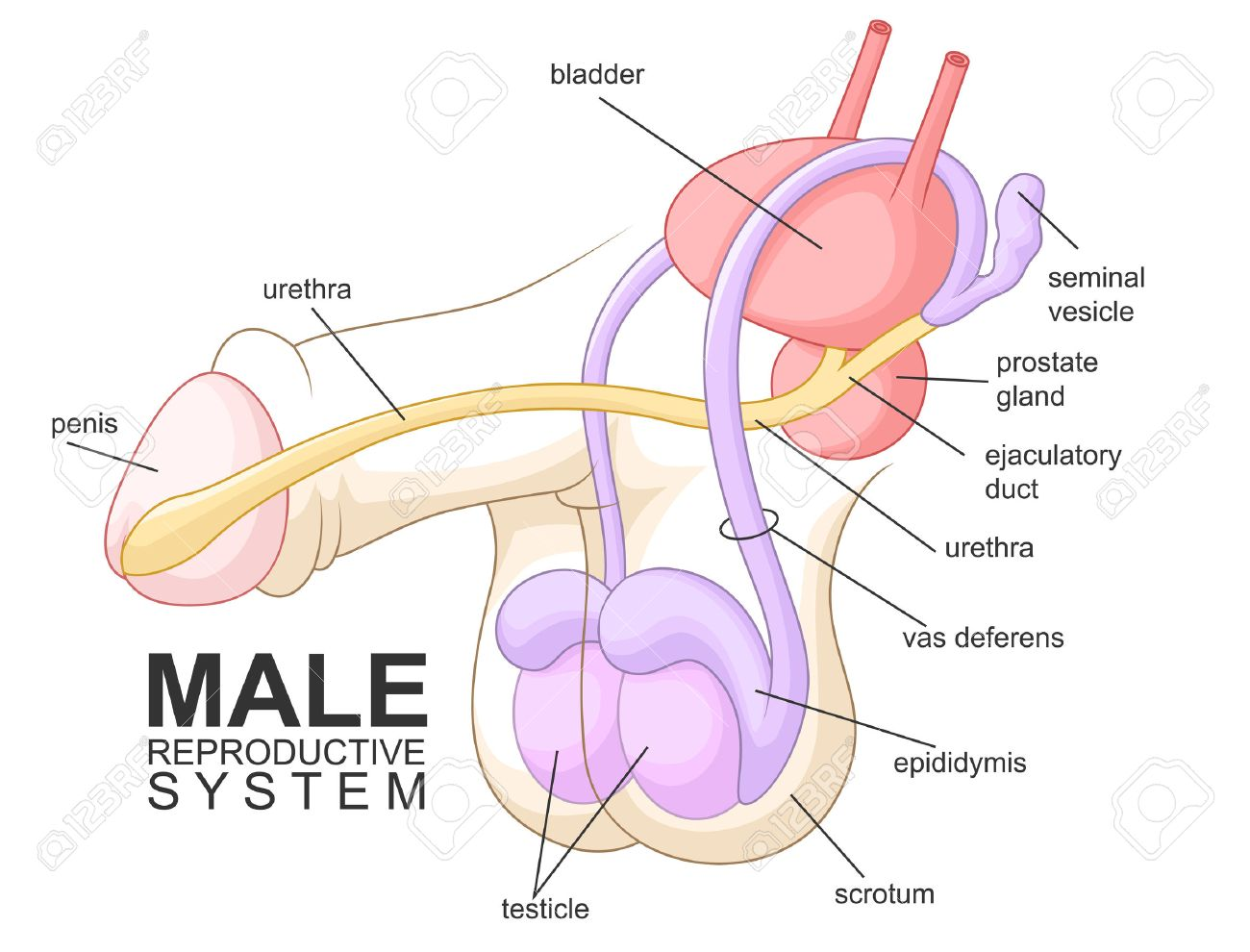 human male reproductive system images & stock pictures. royalty, Muscles