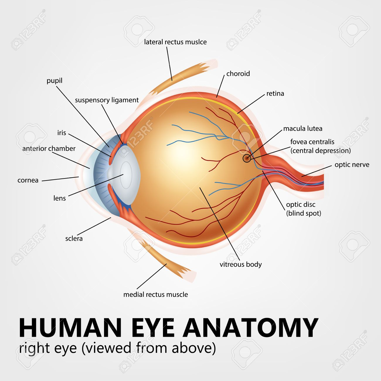 Eye Globe Anatomy Images - human body anatomy