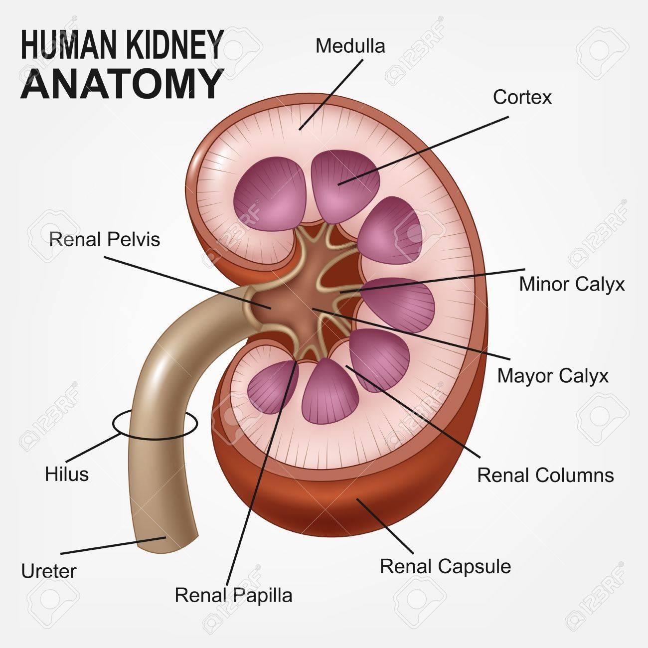 Anatomía Del Riñón Humano Realista Ilustraciones Vectoriales, Clip ...
