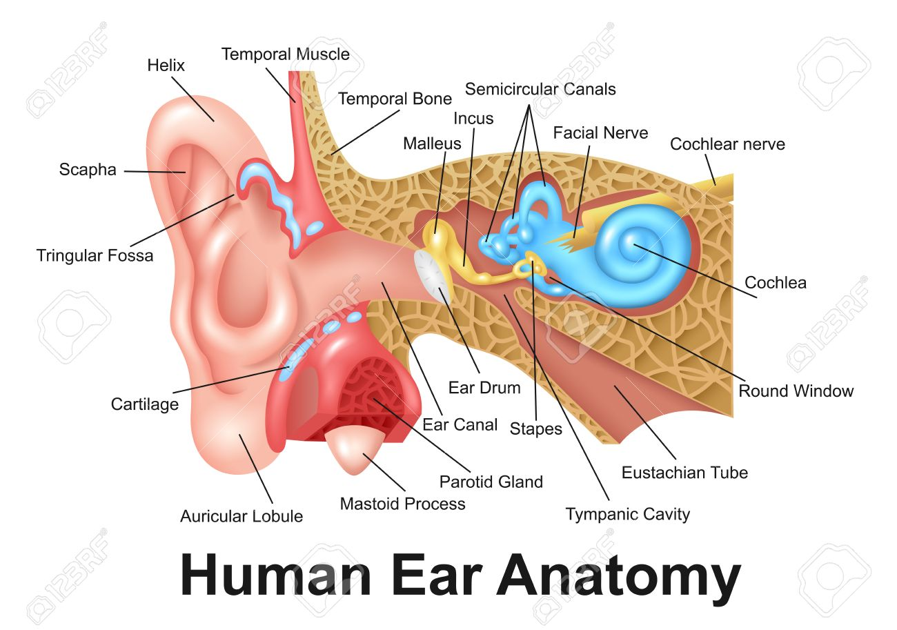 Human Ear Detailed Anatomy Royalty Free Cliparts, Vectors, And Stock ...