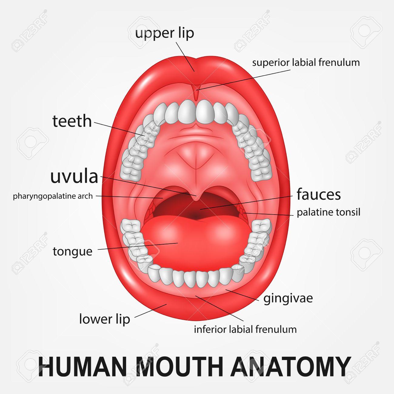 Anatomía De La Boca Humana, La Boca Abierta Con La Explicación ...