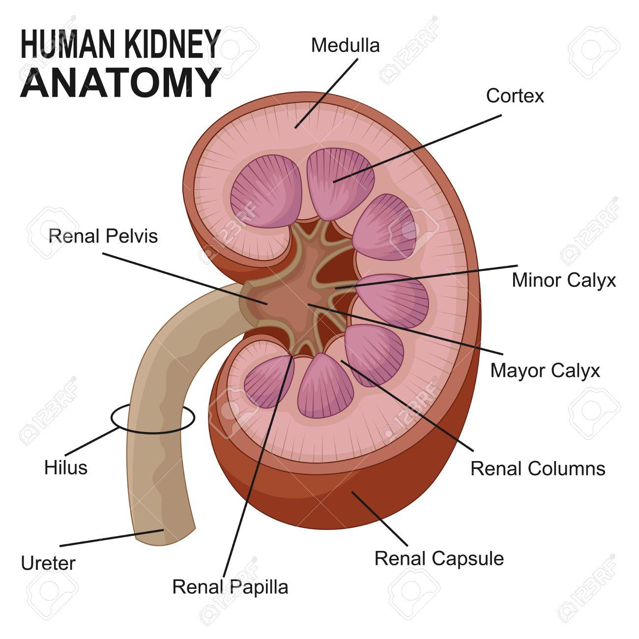 Anatomía De Dibujos Animados De Riñón Humano Ilustraciones ...