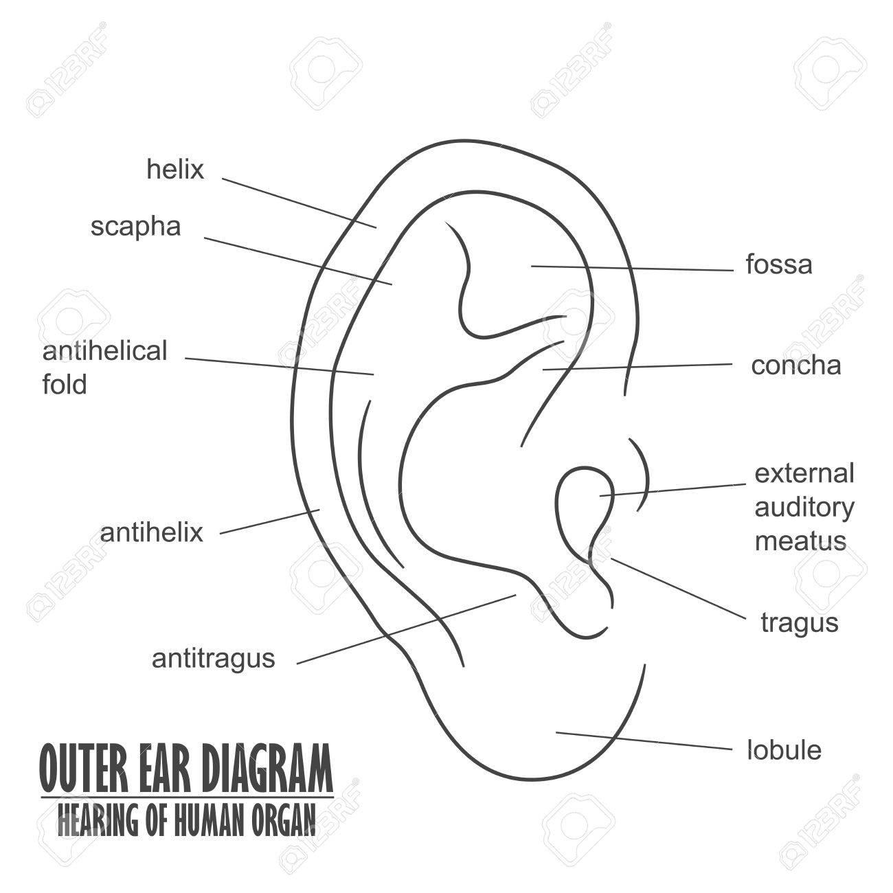 Outer Ear Diagram Hearing Of Human Organ Royalty Free Cliparts ...