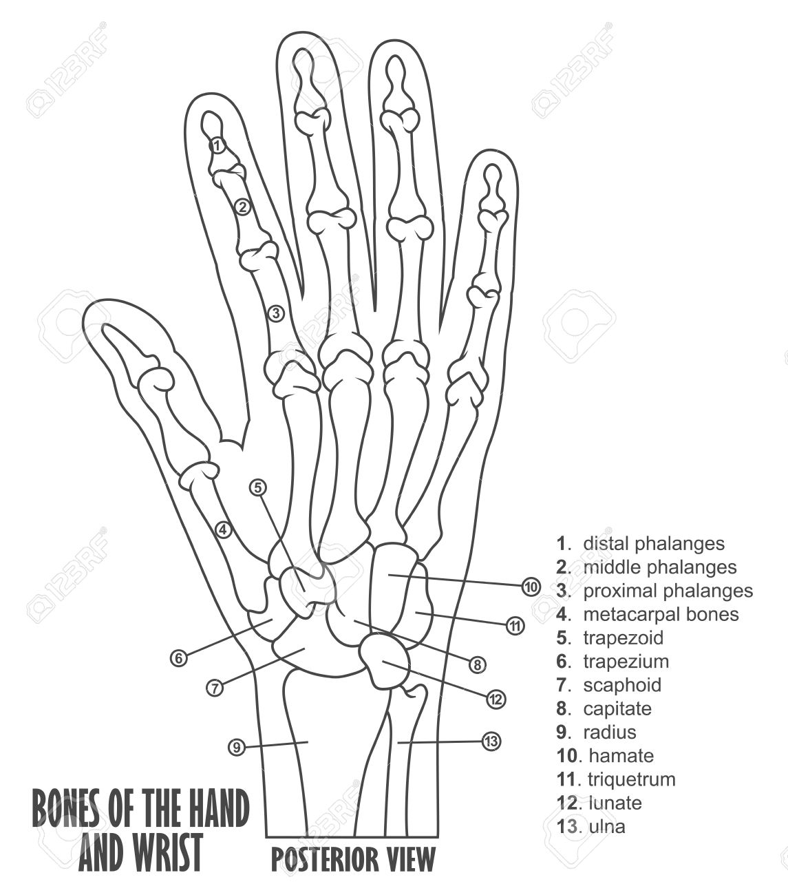 Bones Of The Hand And Wrist Anatomy Royalty Free Cliparts, Vectors ...