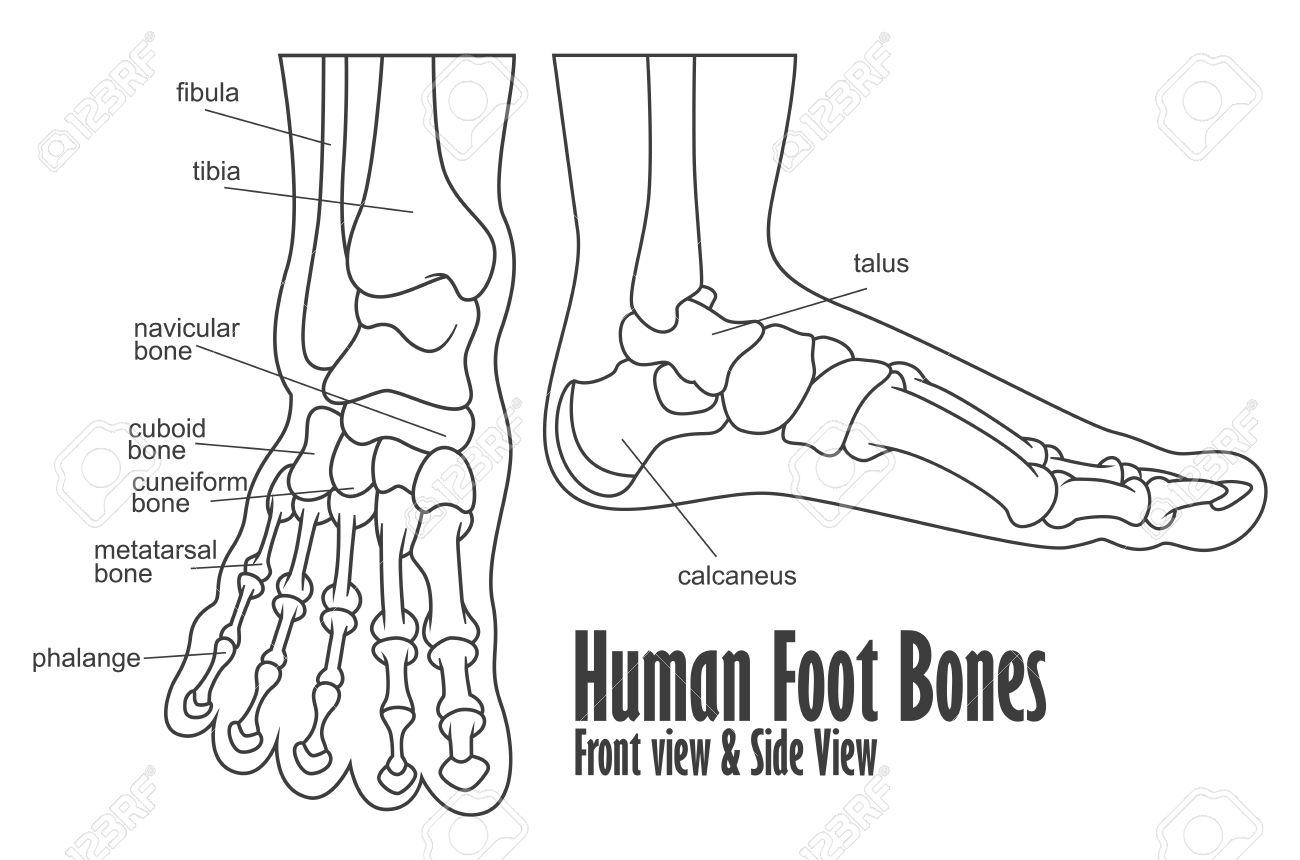 Menschlicher Fuß Knochen Vorder- Und Seitenansicht Anatomie ...