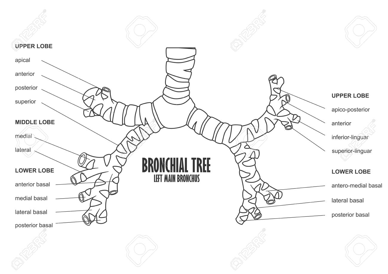 Bronchial Tree Left Main Bronchus Human Anatomy Royalty Free ...
