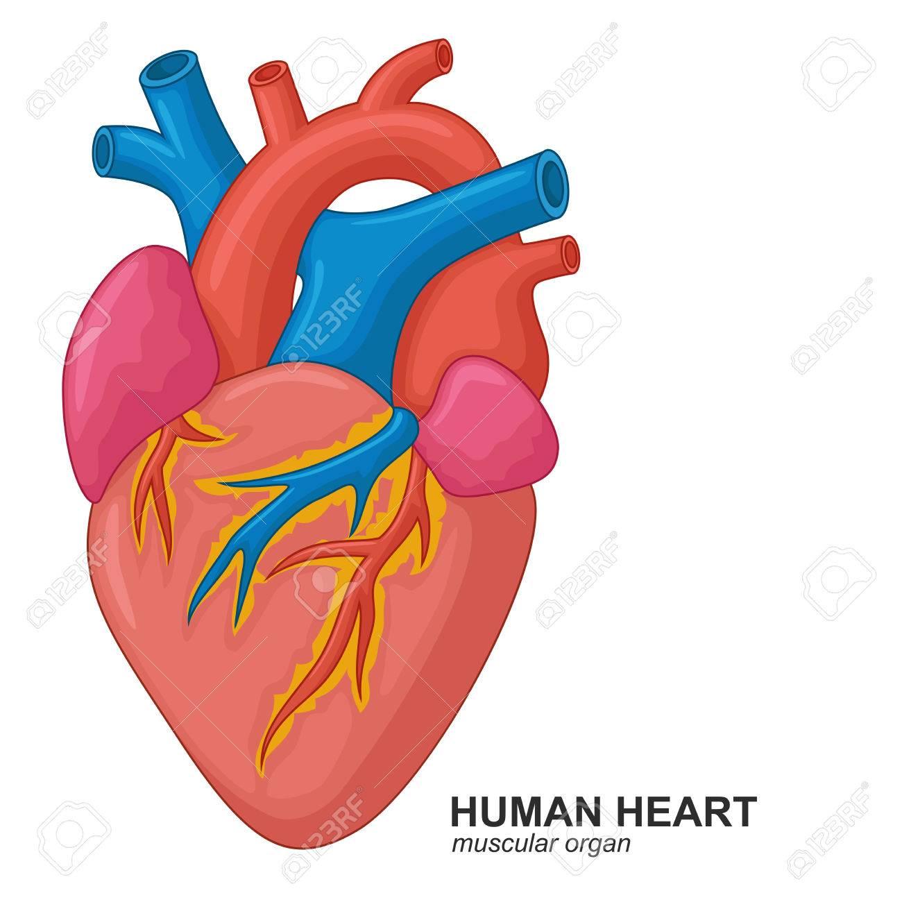 Dessin Coeur Humain dessin animé coeur humain clip art libres de droits , vecteurs et