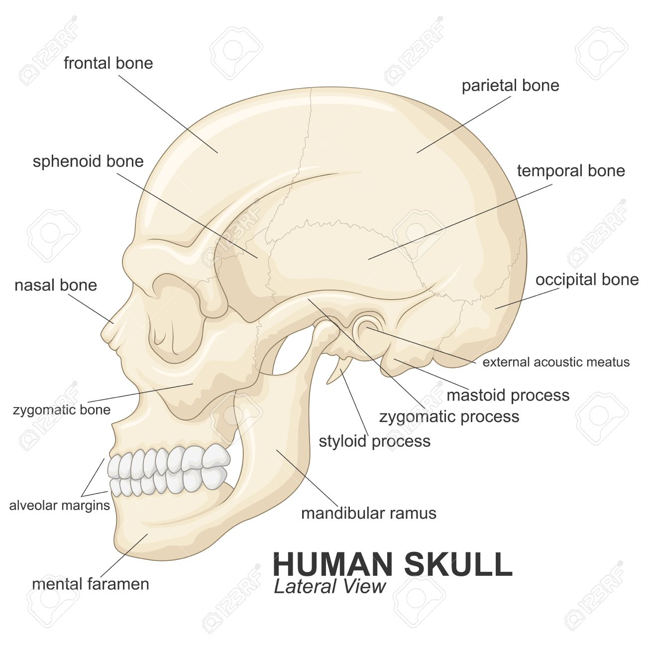 Lateral Diagram Of Skull Wiring Diagram Electricity Basics 101