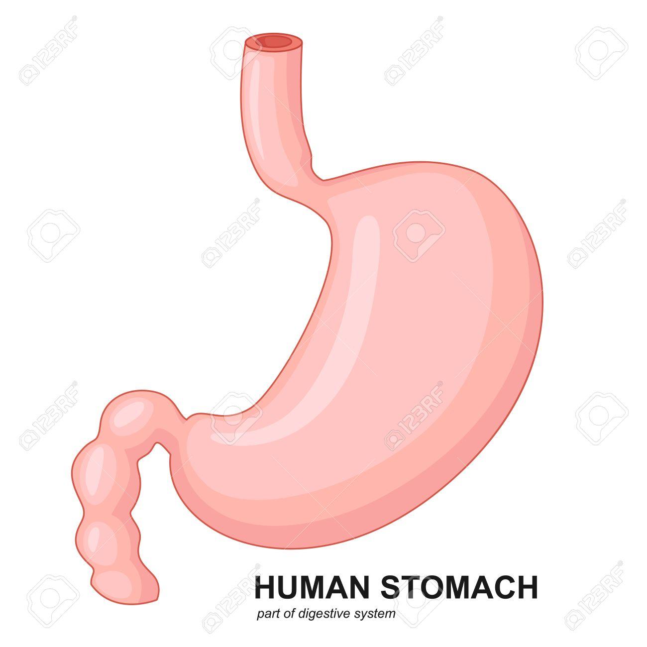De Dibujos Animados Estómago Humano Ilustraciones Vectoriales, Clip ...