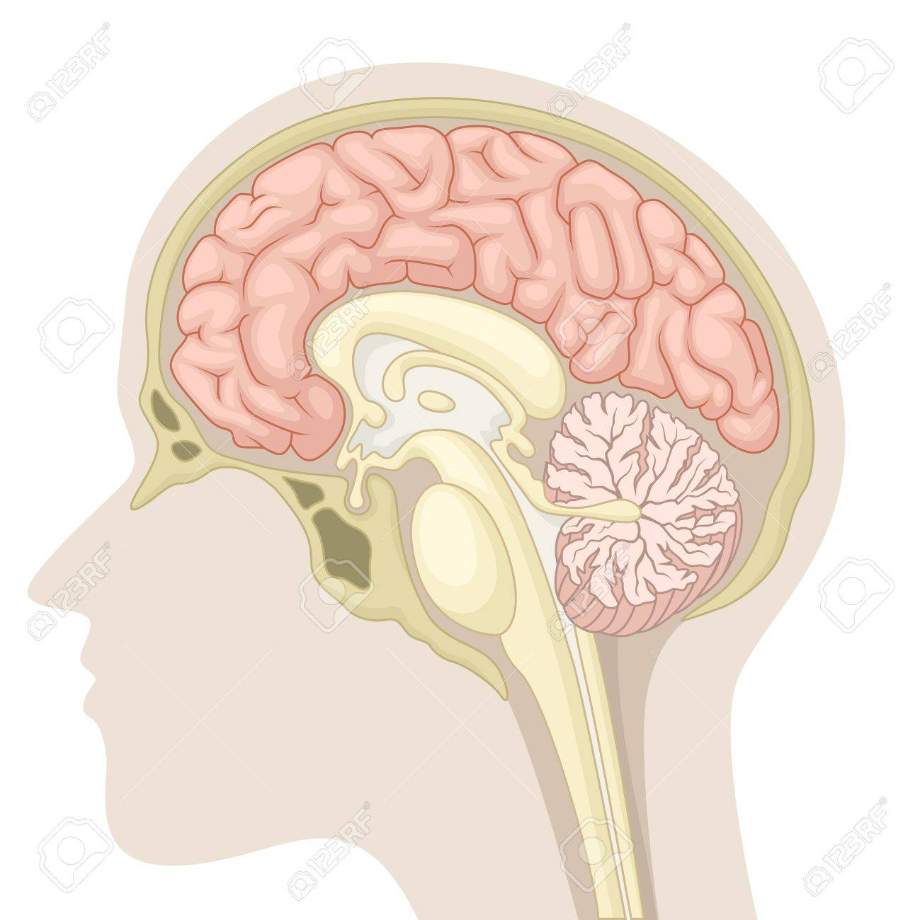 Median section of human brain - 61611312