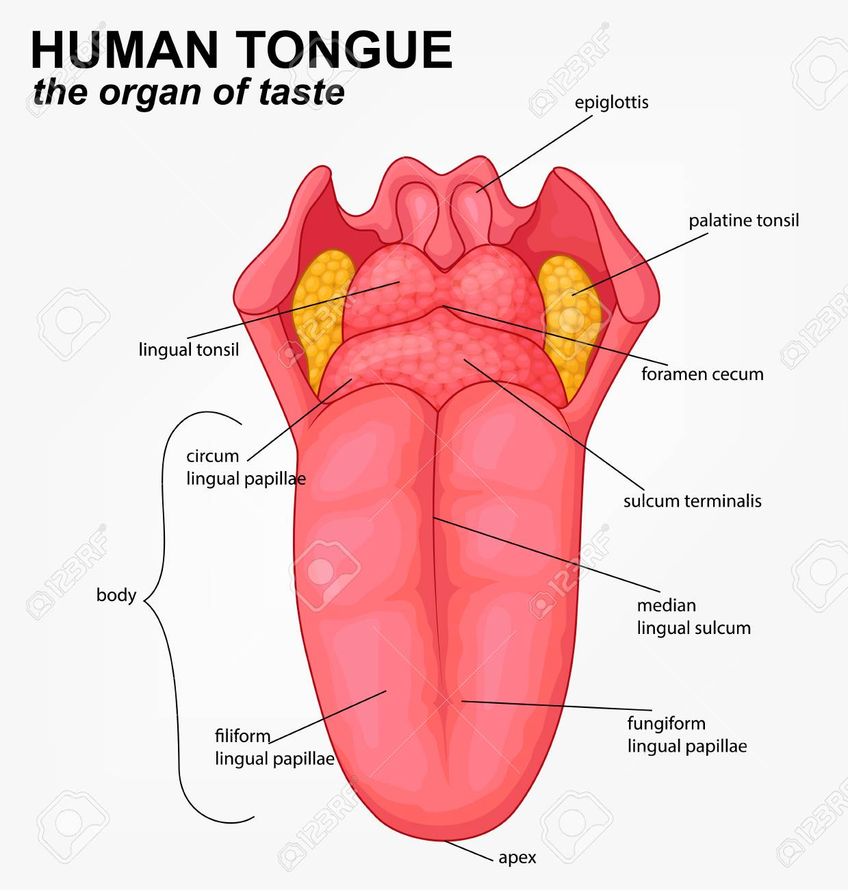 human tongue structure cartoon grade 3 parts of tongue tongue stock illustrations – 42,494