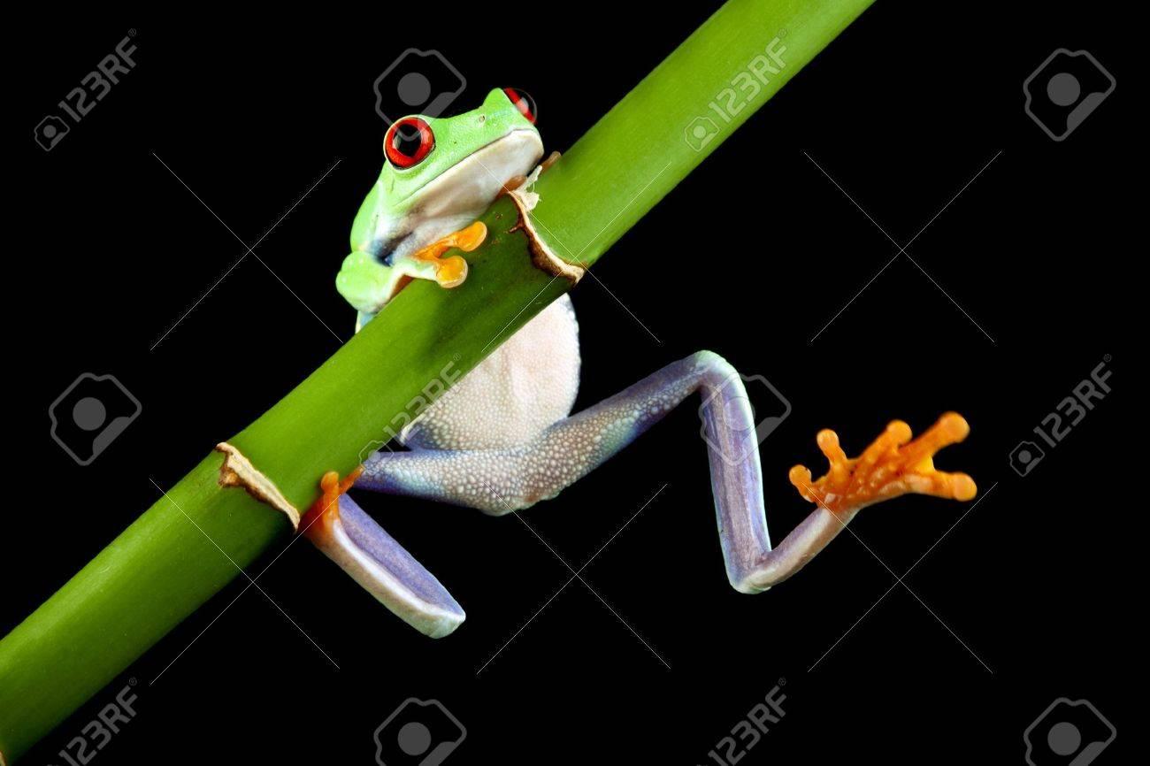 green tree frog - 7200898