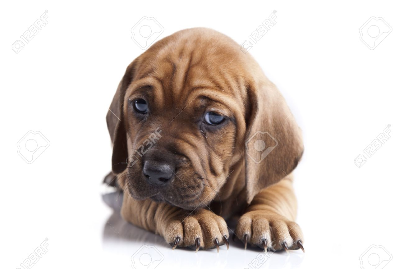Young pretty dog isolated on white background Stock Photo - 11473711