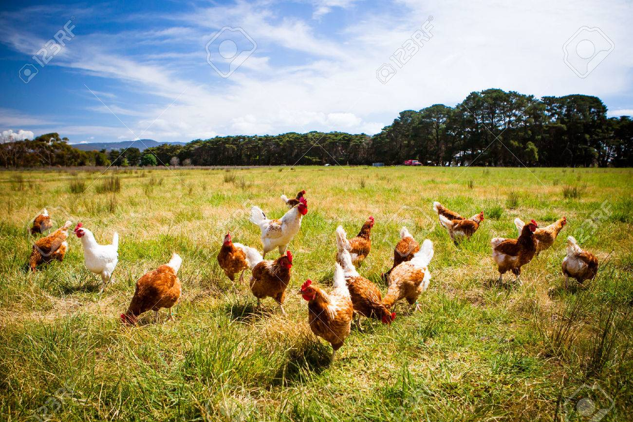 Chickens In A Field - 51502712