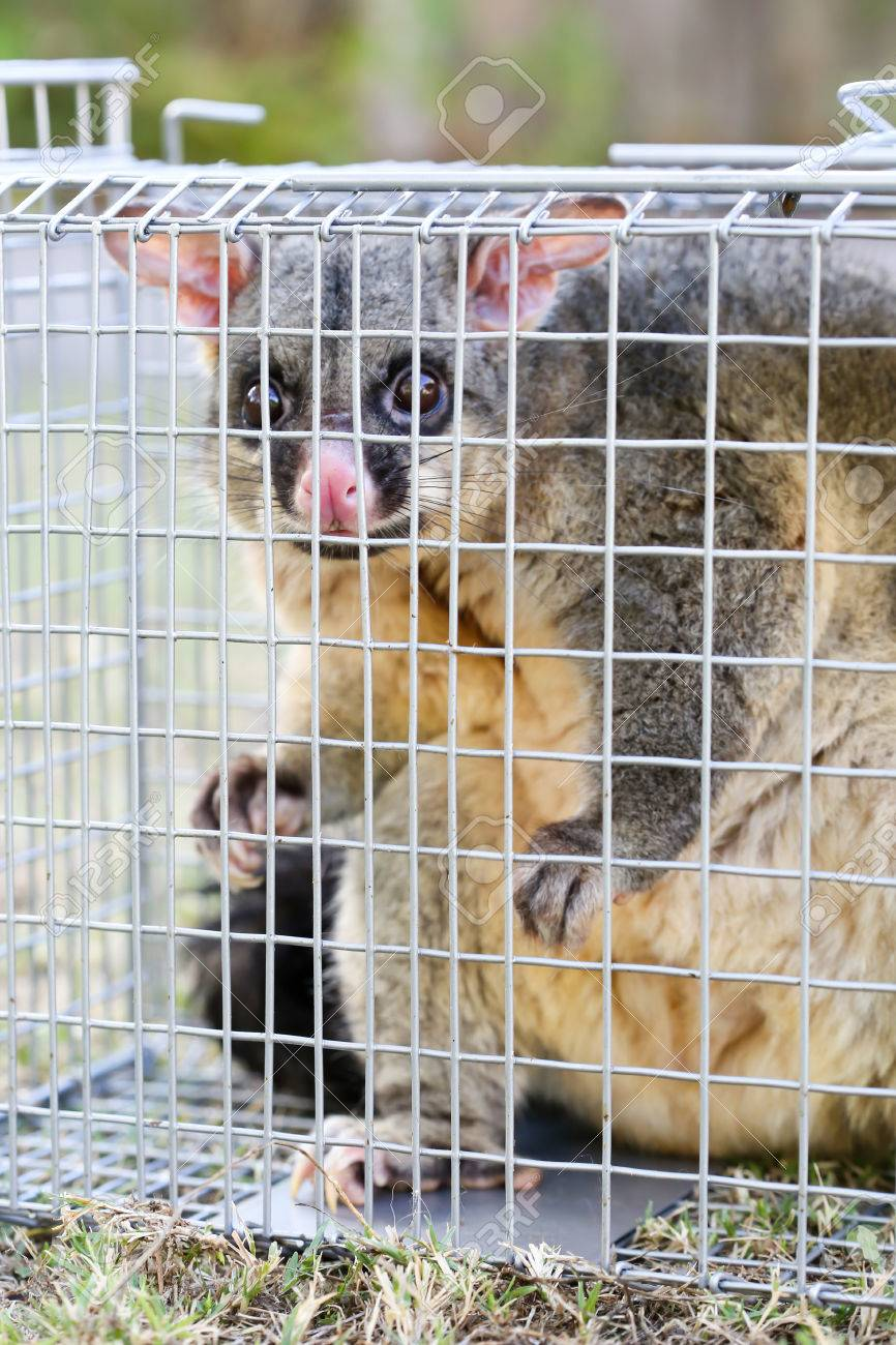 A Brushtail Possum Is Caught In A Cage As A Trap In Melbourne Stock Photo Picture And Royalty Free Image Image 51783502