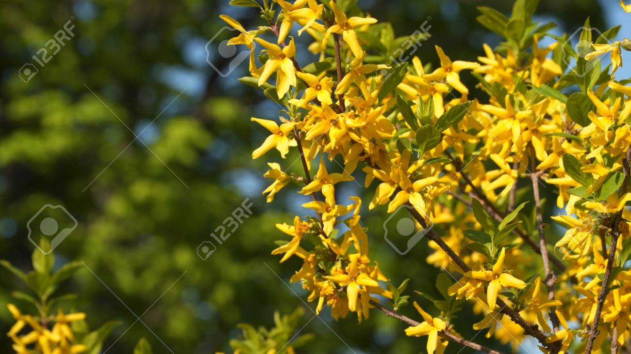 Yellow currant flowers on a branch flowering currant stock photo stock photo yellow currant flowers on a branch flowering currant mightylinksfo