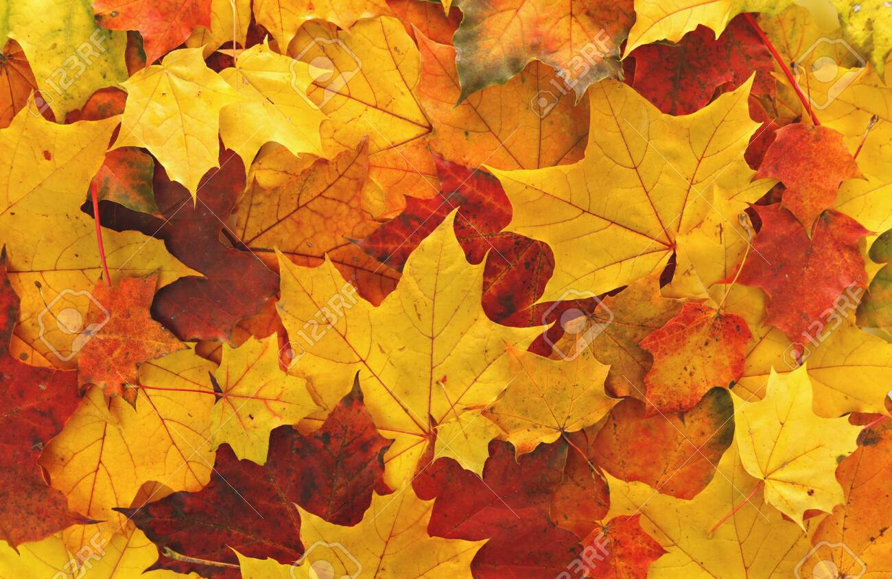 Colorful maple leaves background - 140196456