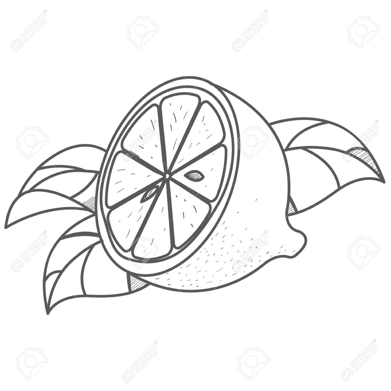 Half of lemon logo half of lemon logo outline drawing of citrus stock