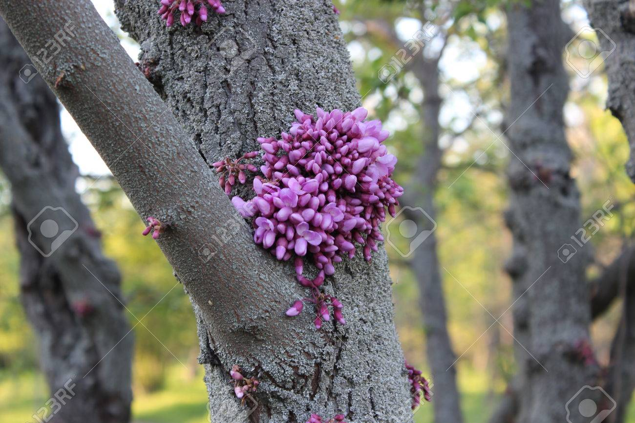 Pink flowers bloom on a tree trunk cercis stock photo picture and pink flowers bloom on a tree trunk cercis stock photo 57706836 mightylinksfo