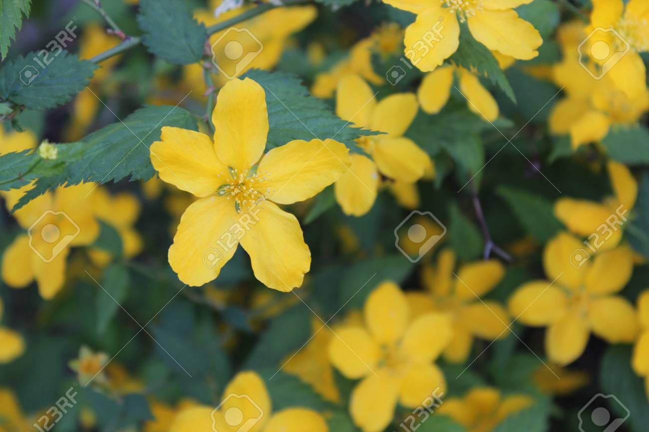 Flowering Shrub With Large Yellow Flowers And Green Leaves Stock