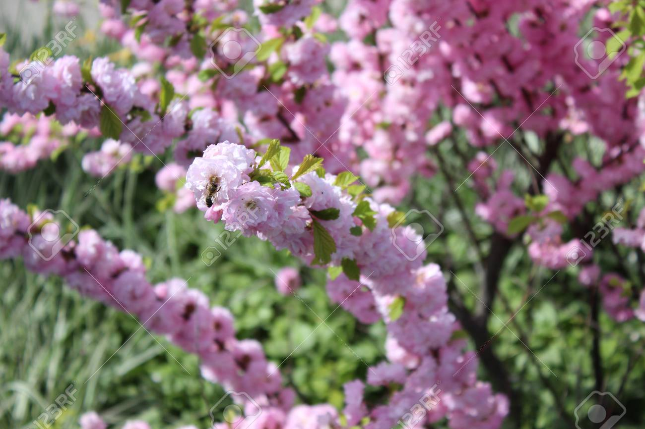 Flowering Bush With Pink Flowers Stock Photo Picture And Royalty