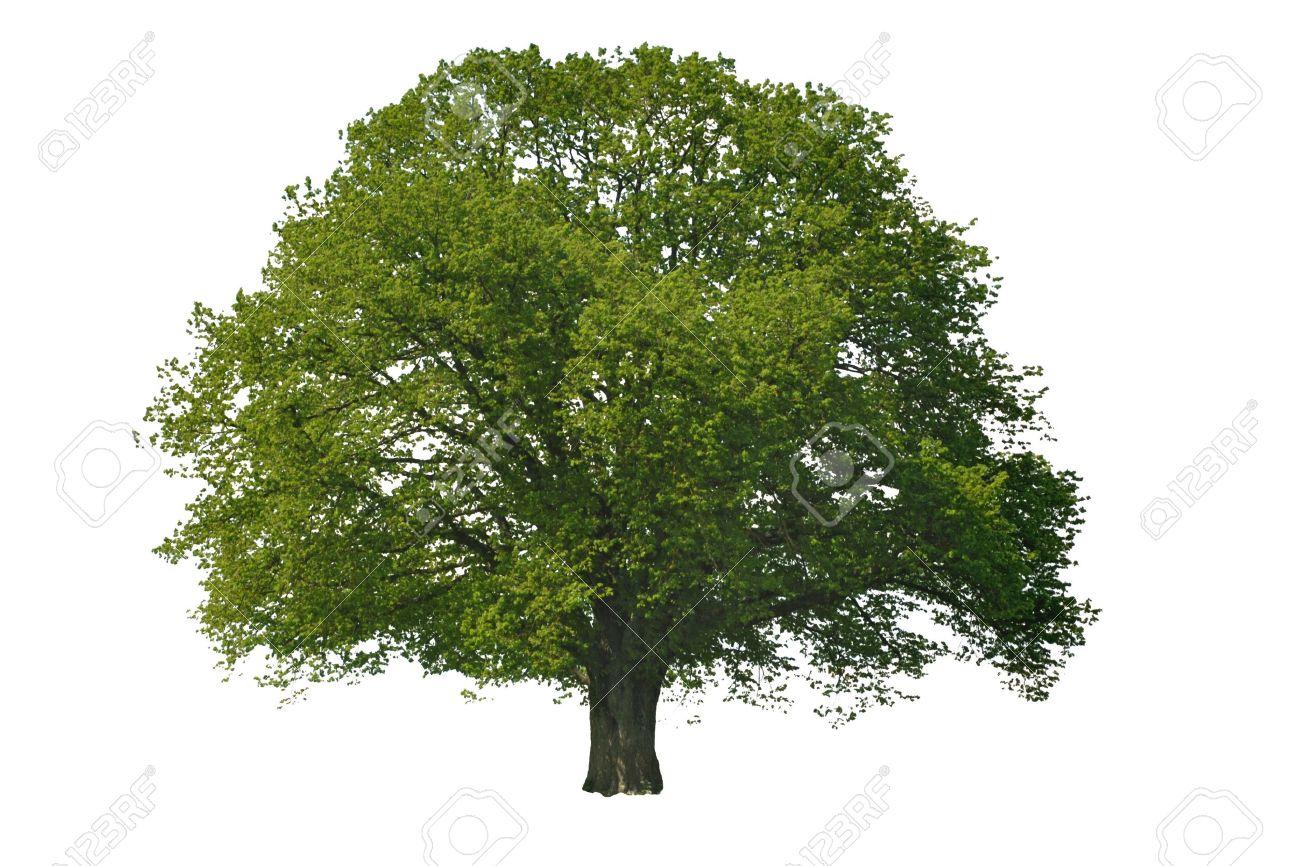 single linden tree isolated on white background - 5968335
