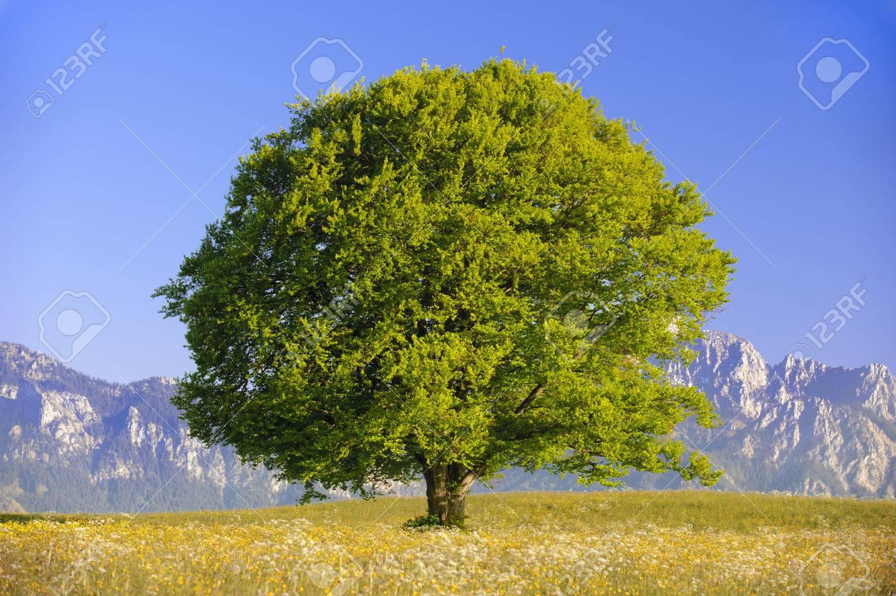 single big old beech tree at spring - 47271807