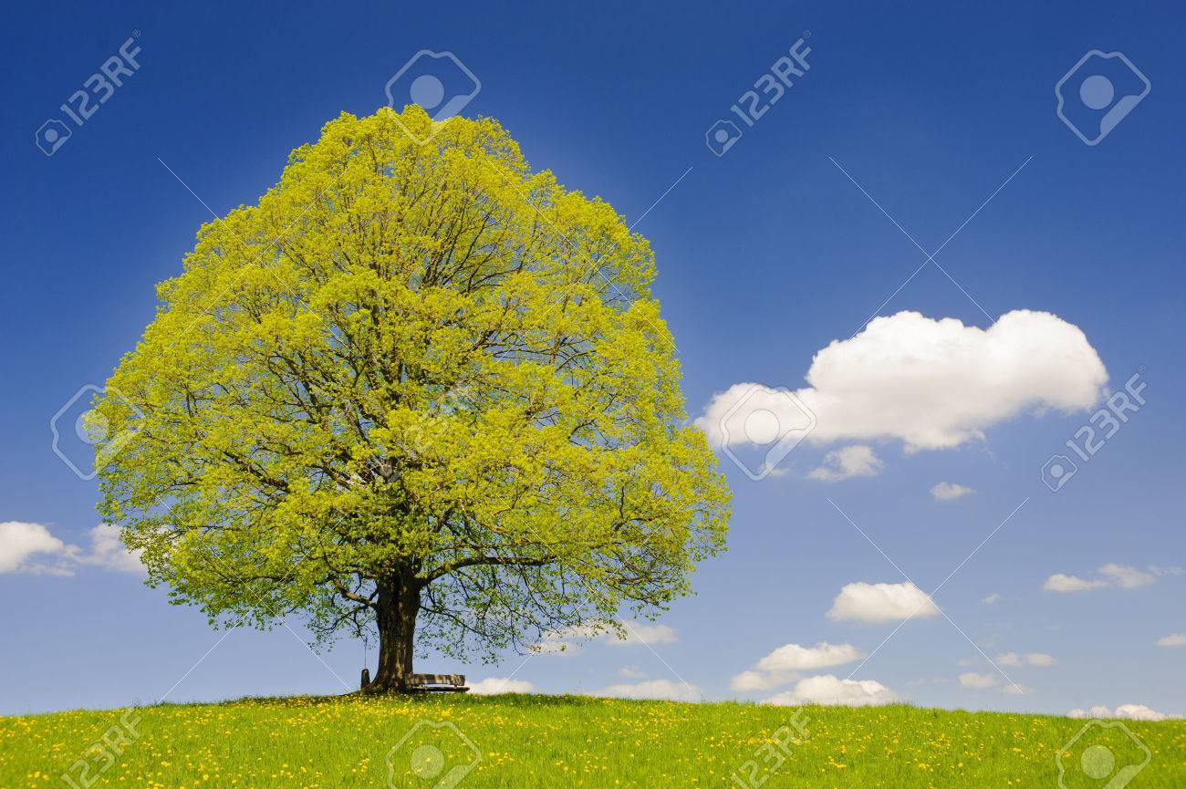 single big linden tree in meadow at spring - 56032653