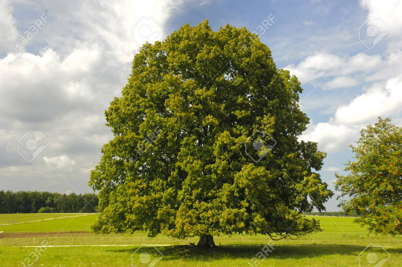 Single Big Linden Tree In Field With Perfect Treetop Stock Photo ...