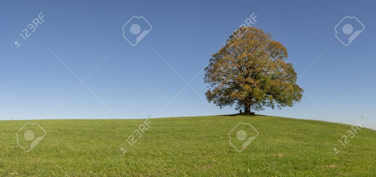 panoramic view to single big linden tree - 113764146