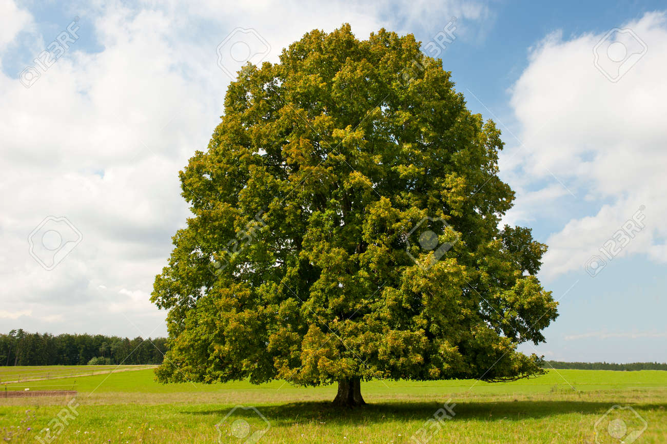single big old deciduous tree in meadow at springtime - 159388237